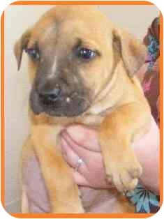 Boxer Mix Puppy for adoption in Arlington, Virginia - Prince Phillip