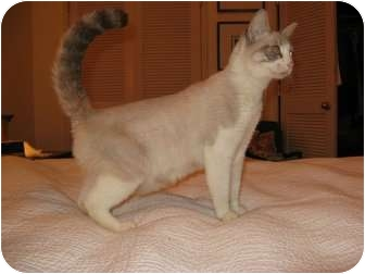 Siamese Cat for adoption in Burbank, California - Maya