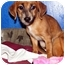 Photo 1 - Dachshund Mix Puppy for adoption in Palm Harbor, Florida - Andy and Amos