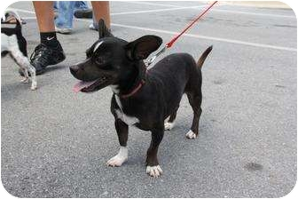 Chihuahua Mix Dog for adoption in Brownsville, Texas - Walker