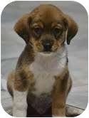 Beagle Mix Puppy for adoption in Windham, New Hampshire - Toby  (In new eng.)