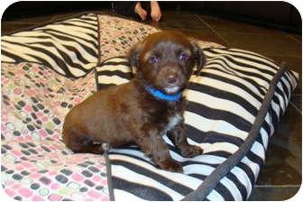Dachshund Mix Puppy for adoption in Tustin, California - Oscar