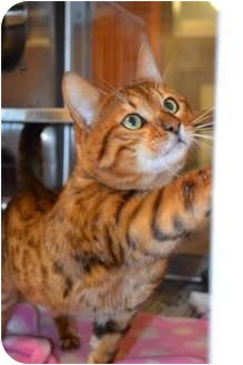 Bengal Cat for adoption in Davis, California - Andwele
