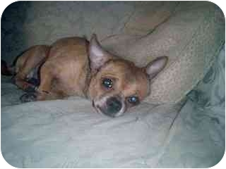 Chihuahua Dog for adoption in Long Beach, New York - Zac