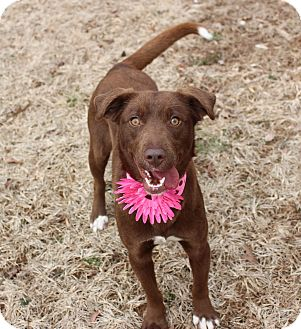 Labrador Retriever Mix Dog for adoption in Clarksville, Tennessee - Louise