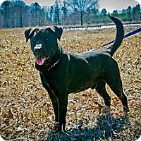 Labrador Retriever Mix Dog for adoption in Jackson, Mississippi - Paddy