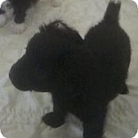 Adopt A Pet :: Sugar - 2 peas in a pod puppy - Phoenix, AZ