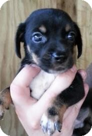 Rat Terrier Mix Puppy for adoption in Gainesville, Florida - Bahama