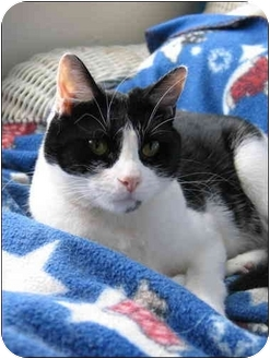 Domestic Shorthair Cat for adoption in Macon, Georgia - Kate