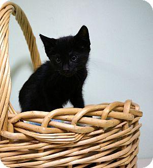 Domestic Shorthair Kitten for adoption in Murphysboro, Illinois - Kovu