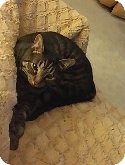 Domestic Shorthair Cat for adoption in Parkton, North Carolina - Jammie