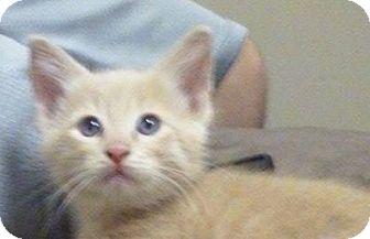 Domestic Shorthair Kitten for adoption in Eureka, California - Sunny