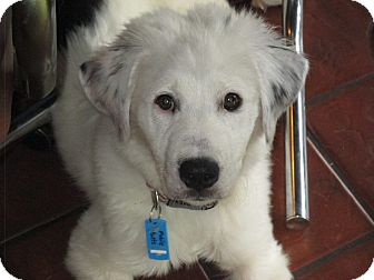 Great Pyrenees Mix Puppy for adoption in Sugar Grove, Illinois - Nikolas