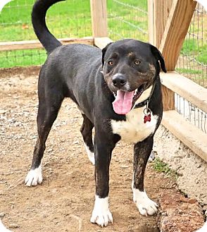 Labrador Retriever Mix Dog for adoption in Union City, Tennessee - Phoenix