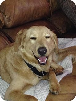 Golden Retriever/Labrador Retriever Mix Dog for adoption in San Diego, California - Duncan