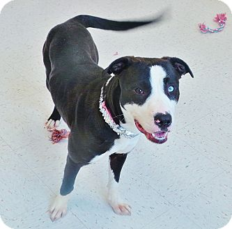 Pit Bull Terrier Mix Dog for adoption in Chambersburg, Pennsylvania - Letty