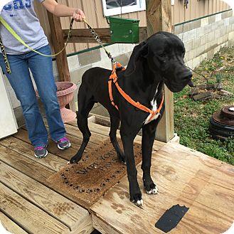 Great Dane Mix Dog for adoption in Loogootee, Indiana - Marmaduke