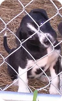Beagle/Jack Russell Terrier Mix Puppy for adoption in Waller, Texas - Millie