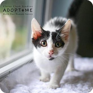 Domestic Shorthair Kitten for adoption in Edwardsville, Illinois - Kylie