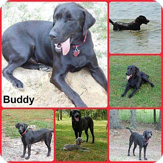 Labrador Retriever Dog for adoption in Inverness, Florida - Buddy
