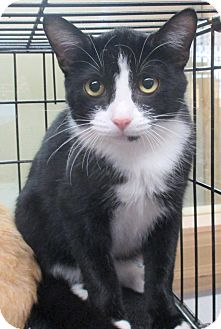 Domestic Shorthair Kitten for adoption in Reeds Spring, Missouri - Hook
