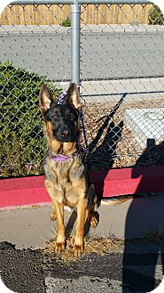 German Shepherd Dog Dog for adoption in Reno, Nevada - Mason