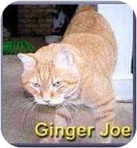 Domestic Shorthair Cat for adoption in Aldie, Virginia - Ginger Joe