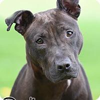 Adopt A Pet :: Denali - Broadway, NJ
