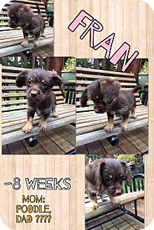 Poodle (Miniature)/Chihuahua Mix Puppy for adoption in Hagerstown, Maryland - Fran (RBF)
