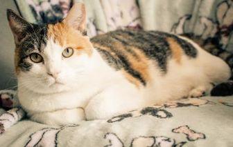 Domestic Shorthair/Domestic Shorthair Mix Cat for adoption in Annapolis, Maryland - Rita [ FELV+]
