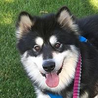 Adopt A Pet :: ROCCO - Adoption Pending - Boise, ID