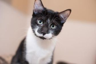 Domestic Mediumhair/Domestic Shorthair Mix Cat for adoption in Palm Springs, California - Peppa
