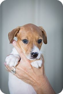 Jack Russell Terrier/Feist Mix Puppy for adoption in Oakville, Connecticut - Lucy