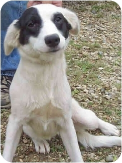 Jack Russell Terrier/Springer Spaniel Mix Dog for adoption in Proctorville, Ohio, Ohio - Bandetta
