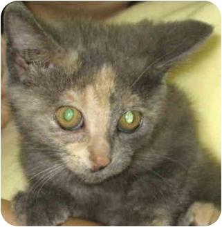 Calico Cat for adoption in Alden, Iowa - Cameo