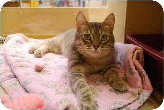 Domestic Shorthair Kitten for adoption in Modesto, California - Reynolds