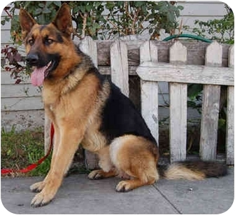 German Shepherd Dog Dog for adoption in Los Angeles, California - Rolf von Ritterhaus
