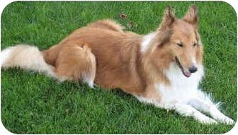 Collie Dog for adoption in Minneapolis, Minnesota - Ailsa Skye