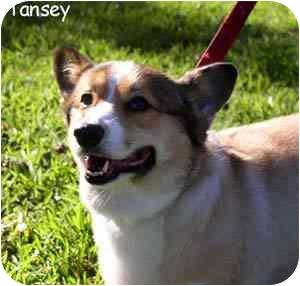 Pembroke Welsh Corgi Dog for adoption in Houston, Texas - Tansey