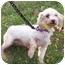 Photo 1 - Maltese Dog for adoption in Oak Ridge, New Jersey - Finn- LAP DOG
