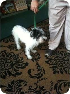 Terrier (Unknown Type, Medium) Mix Dog for adoption in Miami, Florida - Magic
