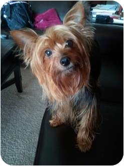 Yorkie, Yorkshire Terrier Dog for adoption in Jacksonville, Florida - Lois