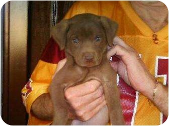 Labrador Retriever/Vizsla Mix Puppy for adoption in Nuevo, California - Cameren