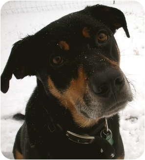 Rottweiler/Labrador Retriever Mix Dog for adoption in West Richland, Washington - Chance