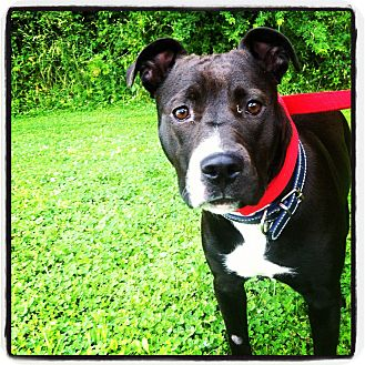 American Pit Bull Terrier Mix Dog for adoption in Louisville, Kentucky - Cali
