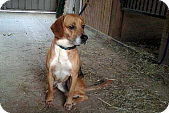 Beagle/Labrador Retriever Mix Dog for adoption in Bedford, Virginia - Atticus