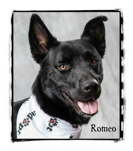 Husky Mix Dog for adoption in Warren, Pennsylvania - Romeo