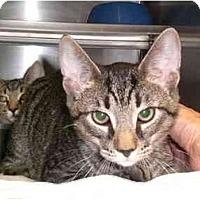 Adopt A Pet :: Walnut - Lombard, IL
