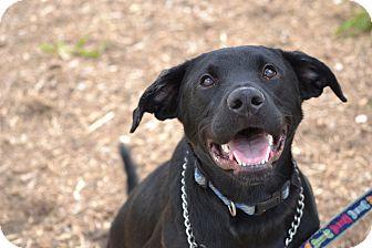 Labrador Retriever Mix Dog for adoption in Waldorf, Maryland - Jacks