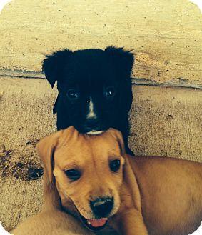 Boxer/Labrador Retriever Mix Puppy for adoption in CHAMPAIGN, Illinois - PAISLEY